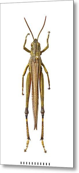 Large Marsh Grasshopper Metal Print