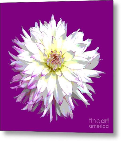 Large White Dahlia On Purple Background. Metal Print by Rosemary Calvert