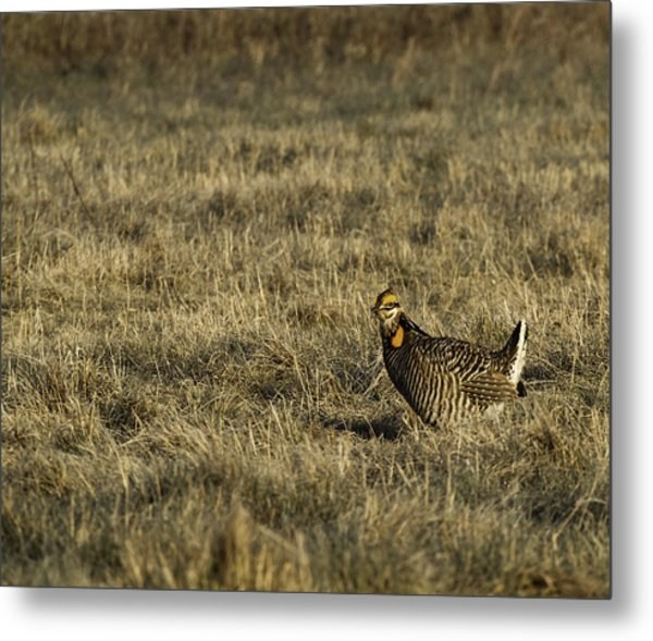 Last Prairie Chicken On The Booming Grounds  Metal Print