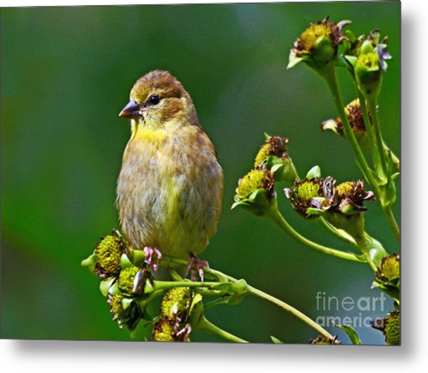 Late Summer Finch Metal Print