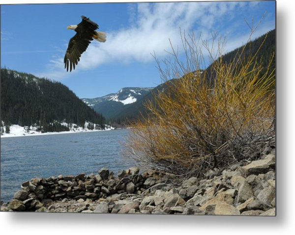 Laurance Eagle Metal Print
