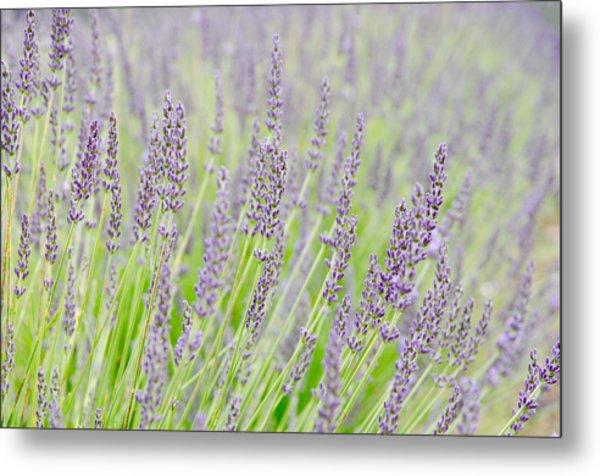 Lavender 1 Metal Print by Rob Huntley