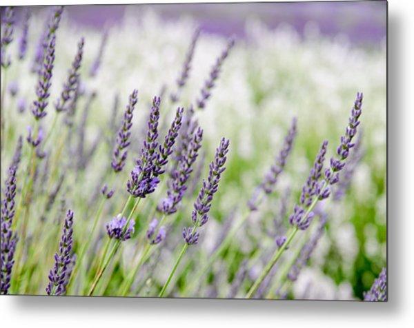 Lavender 3 Metal Print
