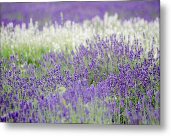 Lavender 4 Metal Print by Rob Huntley