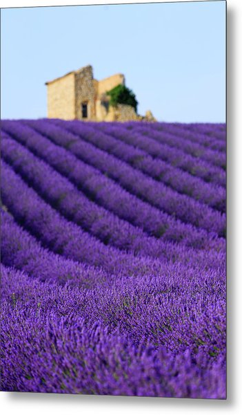 Lavender Field At Sunset Metal Print by Republica