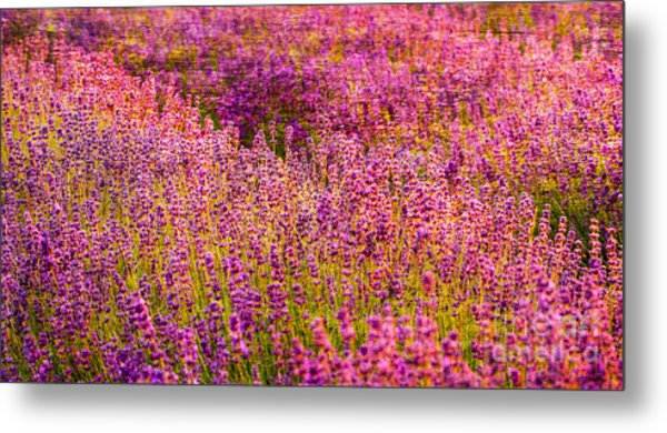 Lavender Fields Metal Print by Courtney Trusty