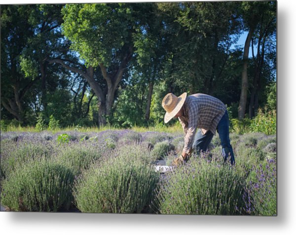 Metal Print featuring the photograph Lavender Harvest by Mary Lee Dereske
