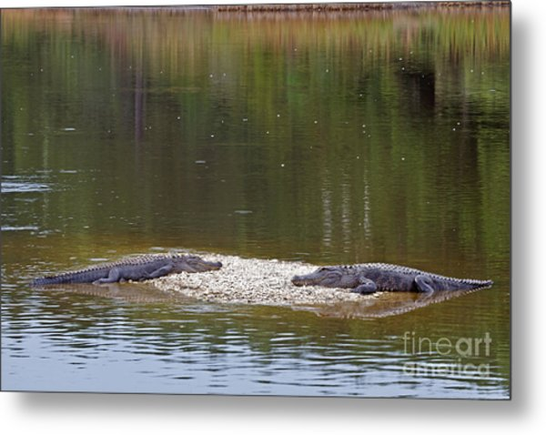 Lazy Alligators Metal Print