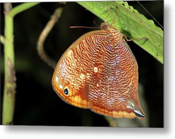 Leafwing Butterfly Roosting At Night Metal Print