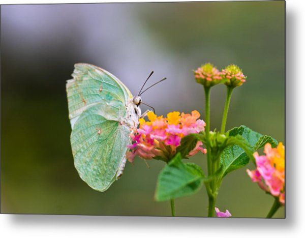 Lemon Emigrant Butterfly Metal Print