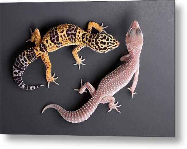 Leopard Gecko E. Macularius Collection Metal Print