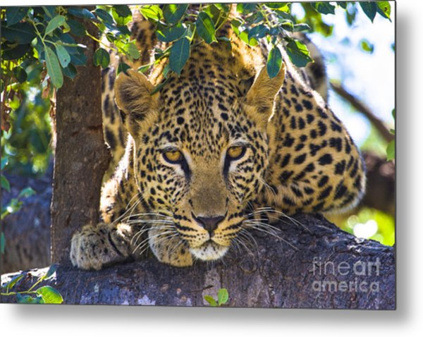 Leopard In Tree Metal Print