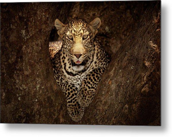 Leopard Resting On A Tree At Masai Mara Metal Print