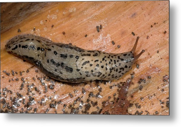 Leopard Slug Or Great Grey Slug Metal Print