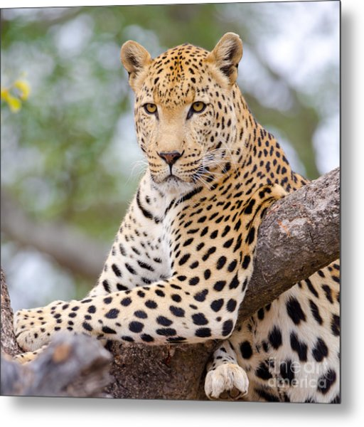 Leopard - South Africa Metal Print by Birdimages Photography