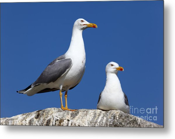 Lesser Black-backed Gulls Metal Print