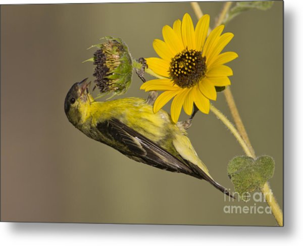 Lesser Goldfinch On Sunflower Metal Print