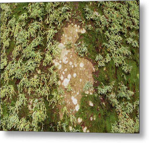Lichen And Moss On Beech Tree Metal Print by Simon Fraser/science Photo Library