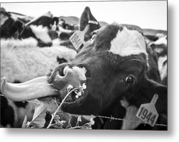 Metal Print featuring the photograph Licking The Picture Frame by Priya Ghose