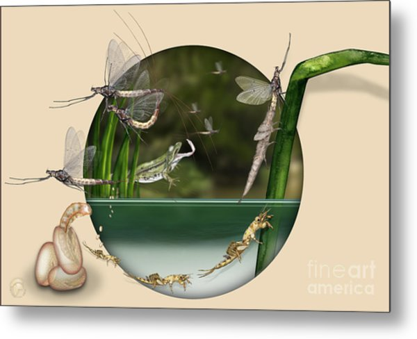 Life Cycle Of Mayfly Ephemera Danica - Mouche De Mai - Zyklus Eintagsfliege - Stock Illustration - Stock Image Metal Print