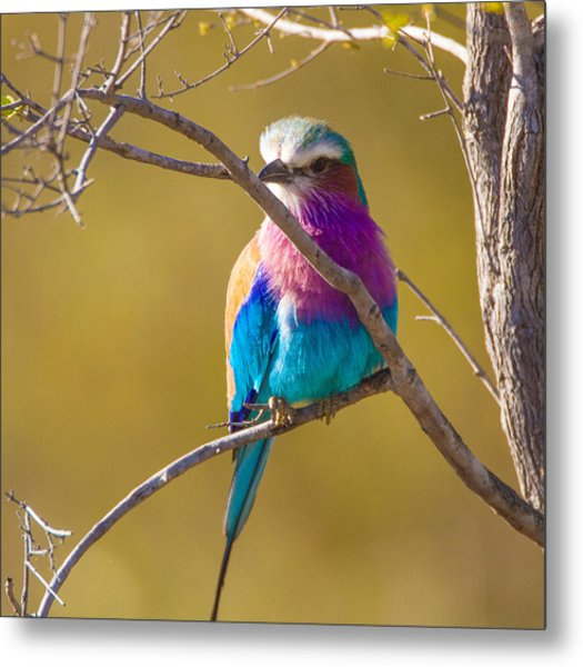 Lilac Breasted Roller Metal Print by Craig Brown