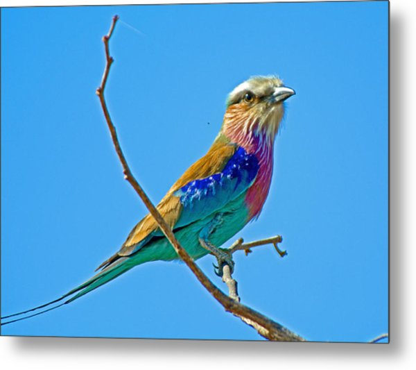 Lilac-breasted Roller In Kruger National Park-south Africa Metal Print
