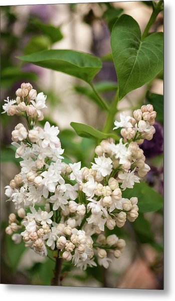Lilac (syringa Vulgaris 'beauty Of Moscow') In Flower Metal Print by Maria Mosolova/science Photo Library