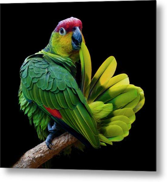 Lilacine Amazon Parrot Isolated On Metal Print