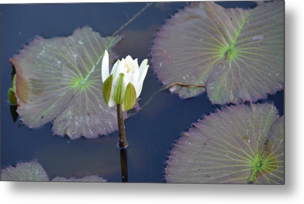 Lilly Blossom Metal Print by Julie Cameron