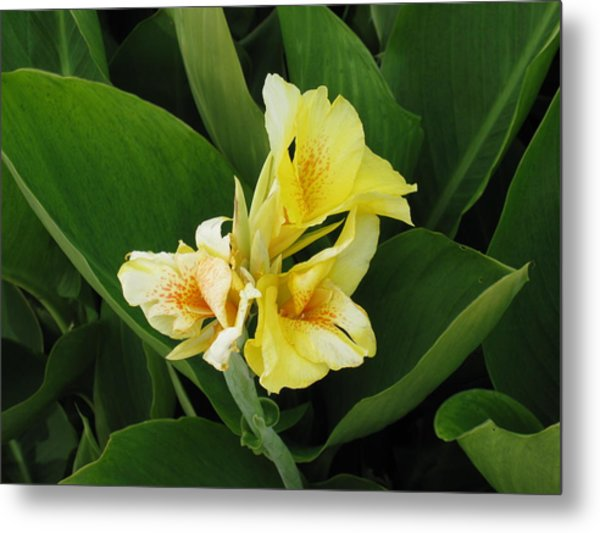 Lilly Of Shreveport Metal Print