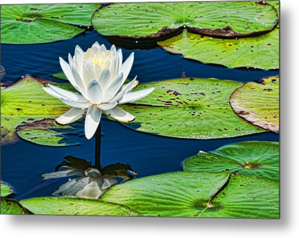 Lilly White Metal Print by Frank Feliciano