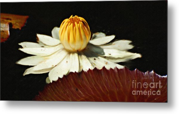 Lily Pad Metal Print by Diane E Berry