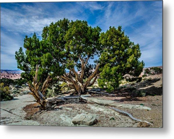 Limber Pine Metal Print