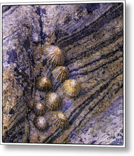 Limpets On Rocks Metal Print by George Hodlin