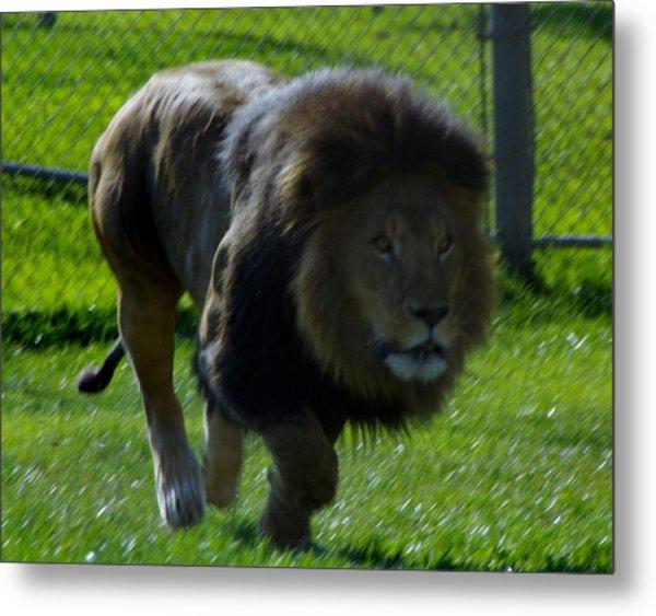Lion 4 Metal Print