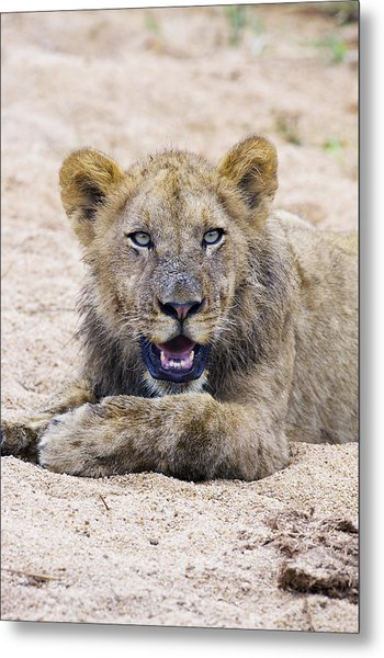 Lion Cub In Dry River Bed Metal Print by Sean McSweeney