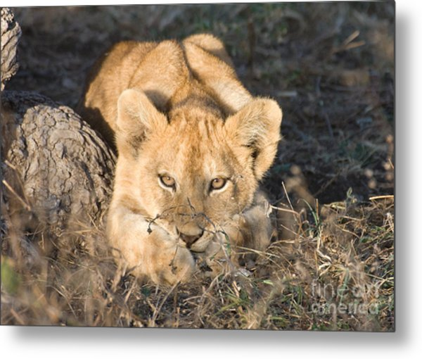 Lion Cub Waiting For Mother Metal Print