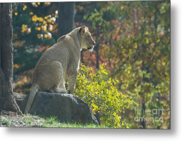 Lion In Autumn Metal Print