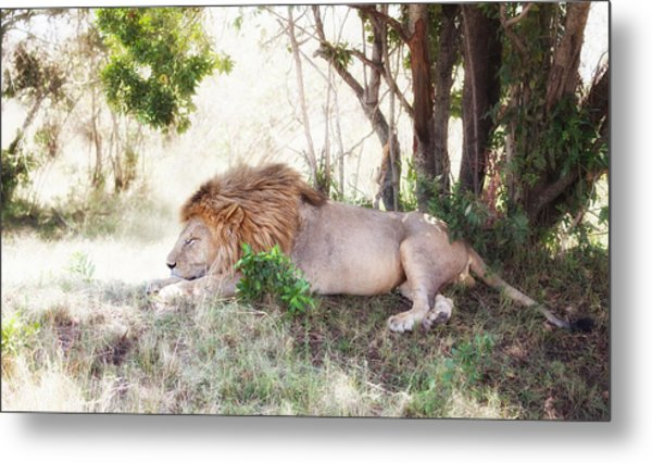 Lion Snoozing In The Afternoon Metal Print