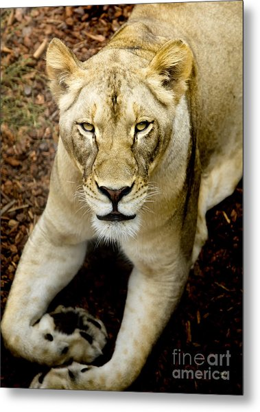 Lion-wildlife Metal Print