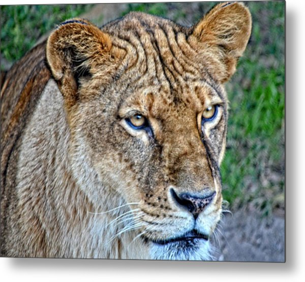 Lioness Deep In Thought Hdr Metal Print