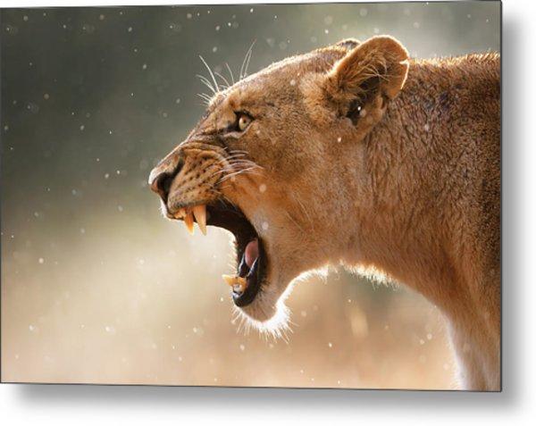 Lioness Displaying Dangerous Teeth In A Rainstorm Metal Print