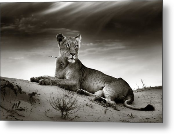 Lioness On Desert Dune Metal Print