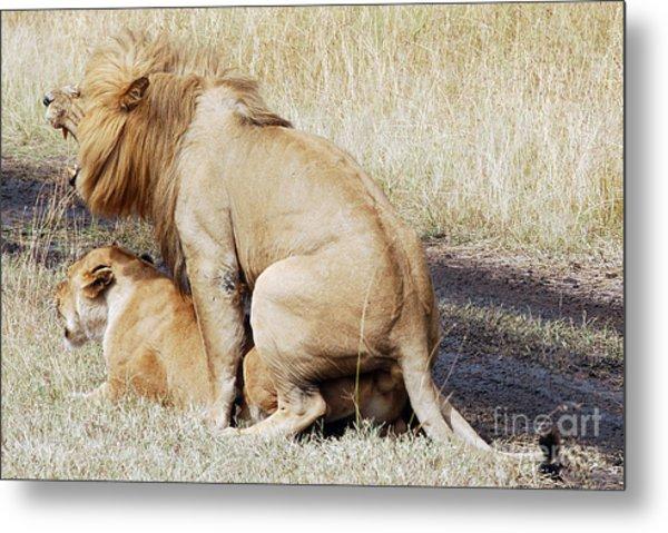 Lions Mating Metal Print