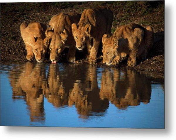 Lions Of Mara Metal Print