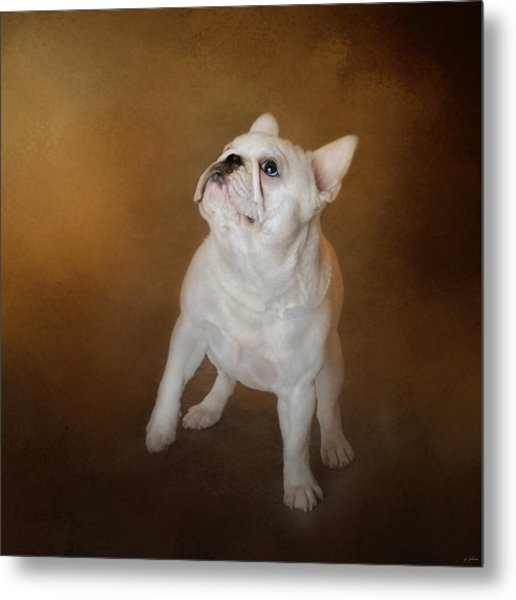 Little Beggar - White French Bulldog Metal Print