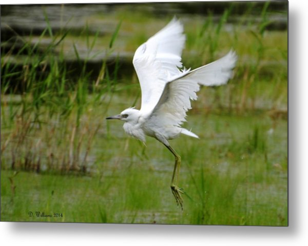 Little Blue Heron In Flight Metal Print