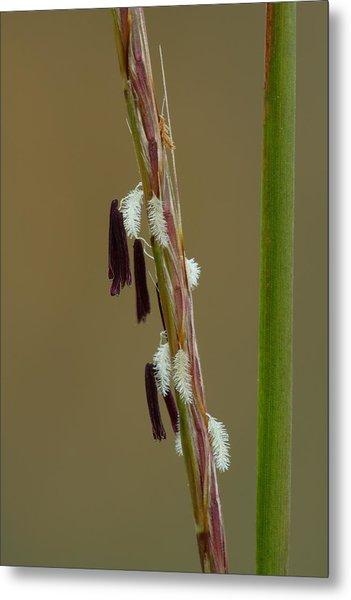 Metal Print featuring the photograph Little Bluestem Grass Flowers by Daniel Reed