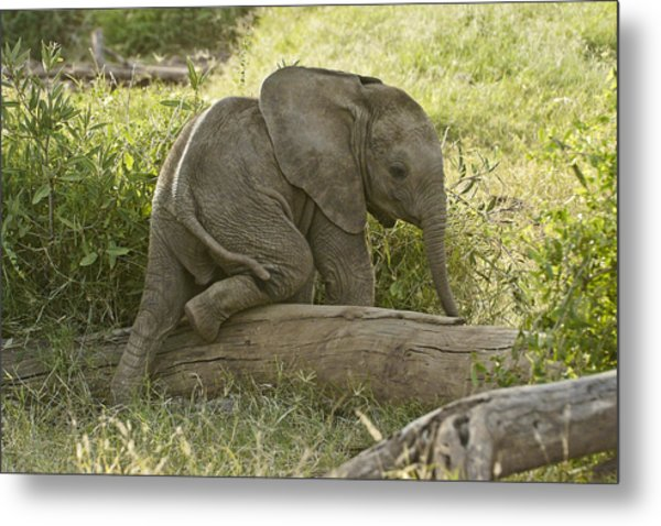 Little Elephant Big Log Metal Print