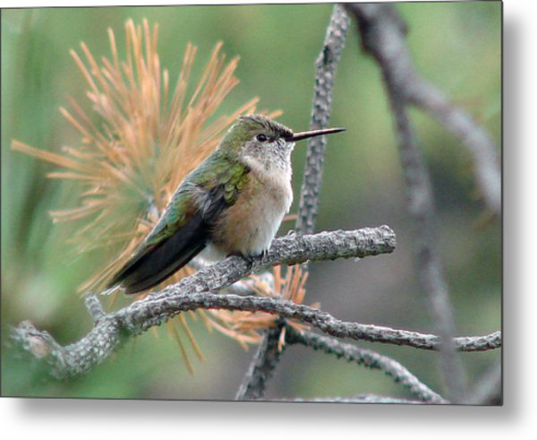 Little Hummer At Rest Metal Print